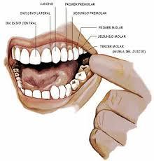 partes-dientes-2