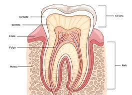 partes-dientes-4